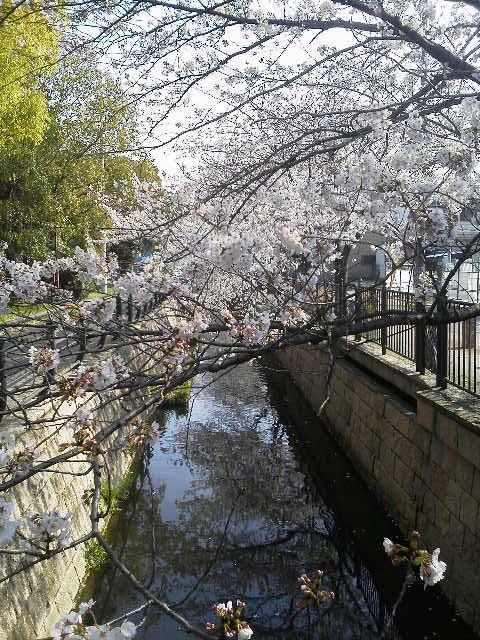 A桜.jpg